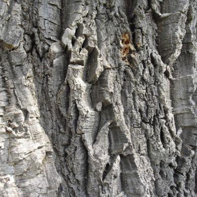 La quercia da sughero, Quercus suber