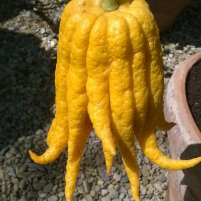 La mano di buddha! Citrus medica var. sarcodactylus